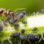 Mravce a vošky - dokonalá symbióza