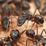 Myrmekológia - náuka o mravcoch