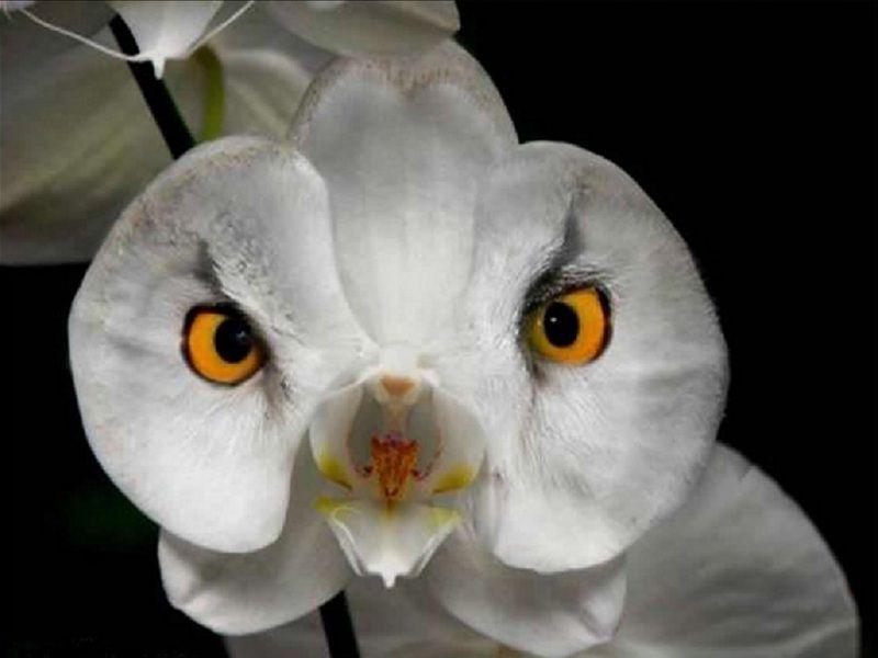 """""""Owl"""" orchidea"""