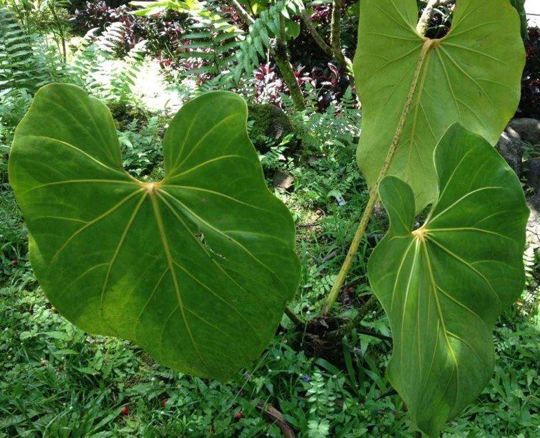 Anthurium faustinomirandae