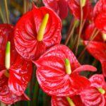Antúria - exotická krása s tropickým šarmom - ako na jej pestovanie, strihanie a rozmnožovanie