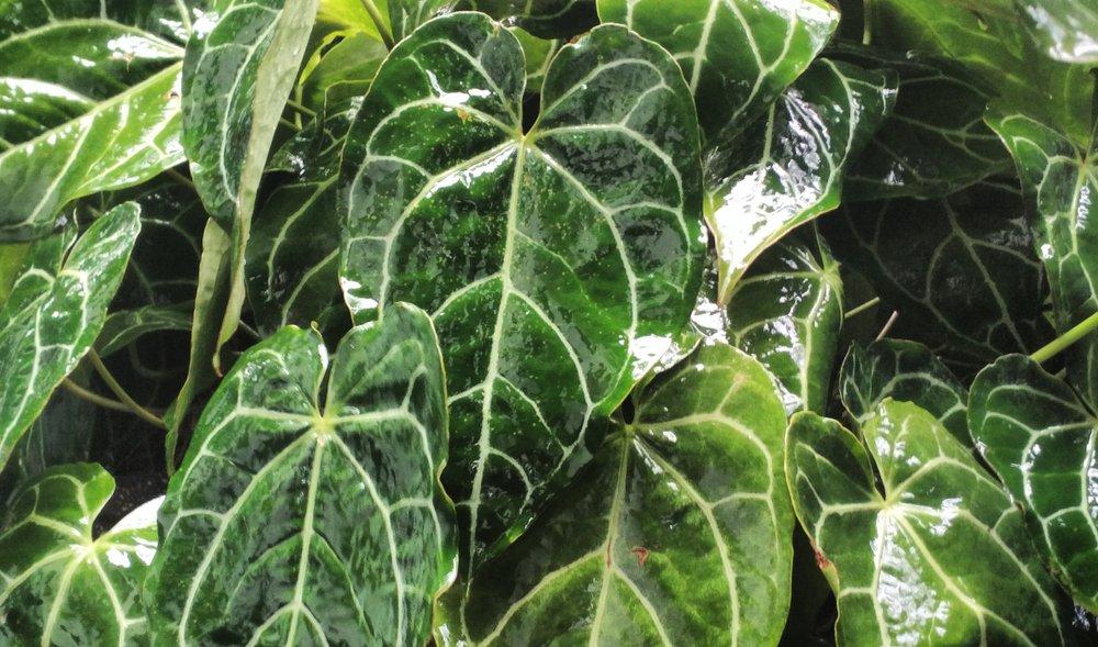 Anthurium crystallinum.