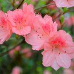 Azalka - pestovanie, starostlivosť + 8 súvisiacich faktov