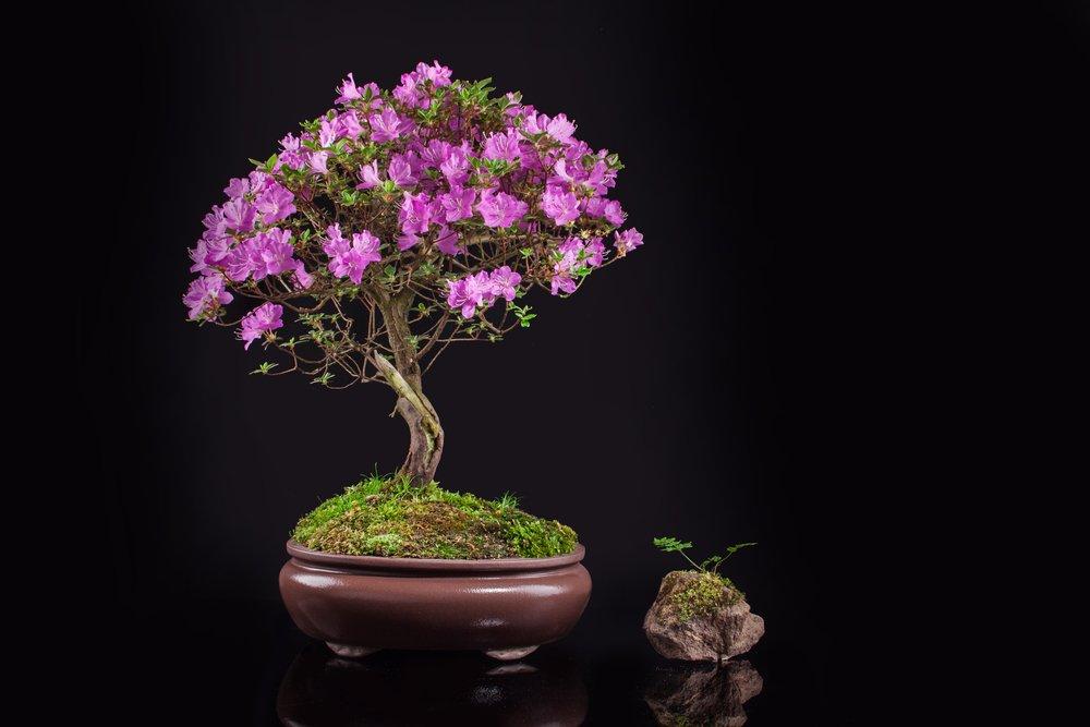 Azalea japonica ako bonsai