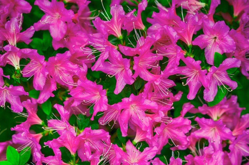 Indická azalka (Rhododendron simsii)