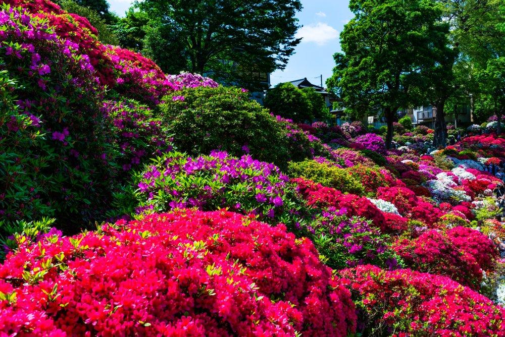 Pre japonské záhrady sú azalky typické