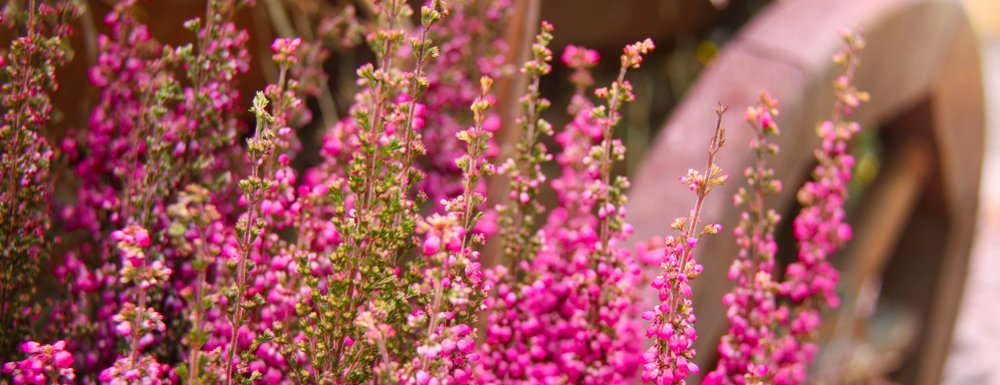 Calluna kvety
