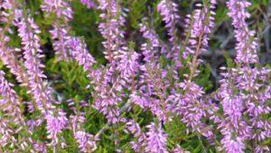 Calluna vulgaris Marleen