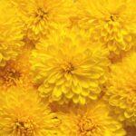Chryzantéma - pestovanie, rozmnožovanie, starostlivosť a symbolika rastliny