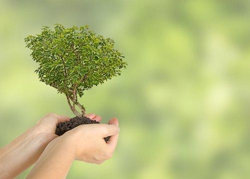 Figovník ako bonsaj