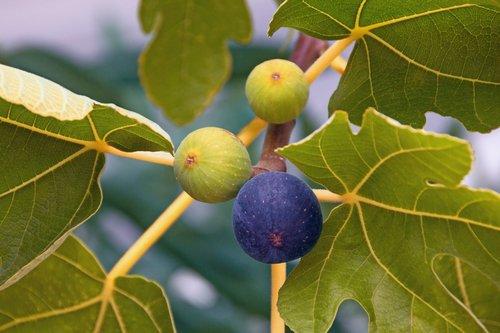 Figovnik obyčajný Ficus carica