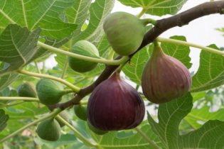 Figovník obyčajný - plody na rastline