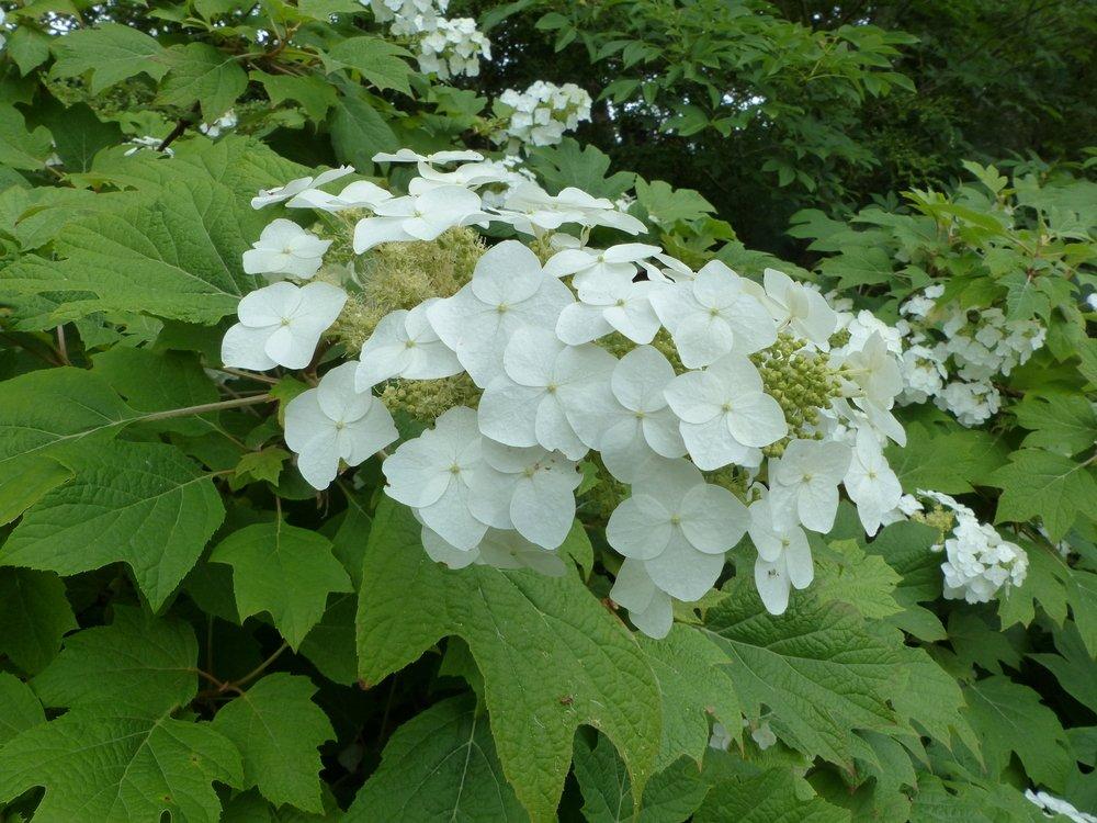Hortenzie dubolisté (Hydrangea quercifolia)