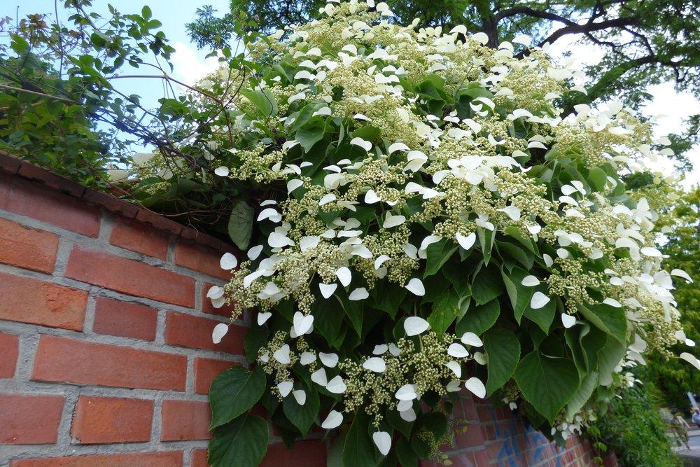 Hortenzia popínavá (Hydrangea petiolaris)