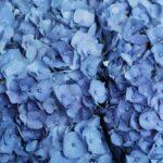 Hortenzia - druhy, pestovanie, starostlivosť, rozmnožovanie + zopár zaujímavostí