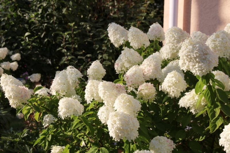Biela hortenzia metlinatá (Hydrangea paniculata)