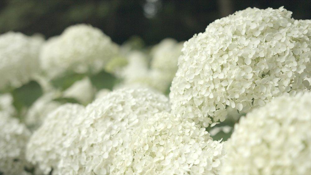 Hortenzia stromčekovité (Hydrangea arborescens)