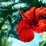 Ibištek - pestovanie, starostlivosť a liečivé účinky