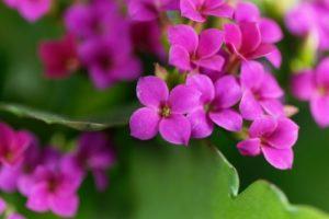 Kalanchoe blossfeldiana - fialový kvet