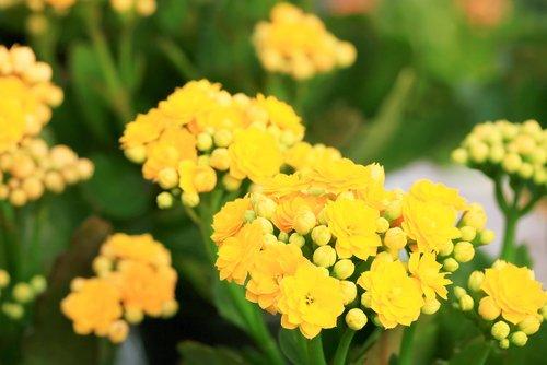 Kalanchoe blossfeldiana - žltá