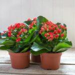 Kalanchoe - izbová rastlina nenáročná na pestovanie (kompletný prehľad)