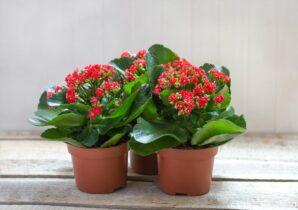 Kalanchoe červené kvety