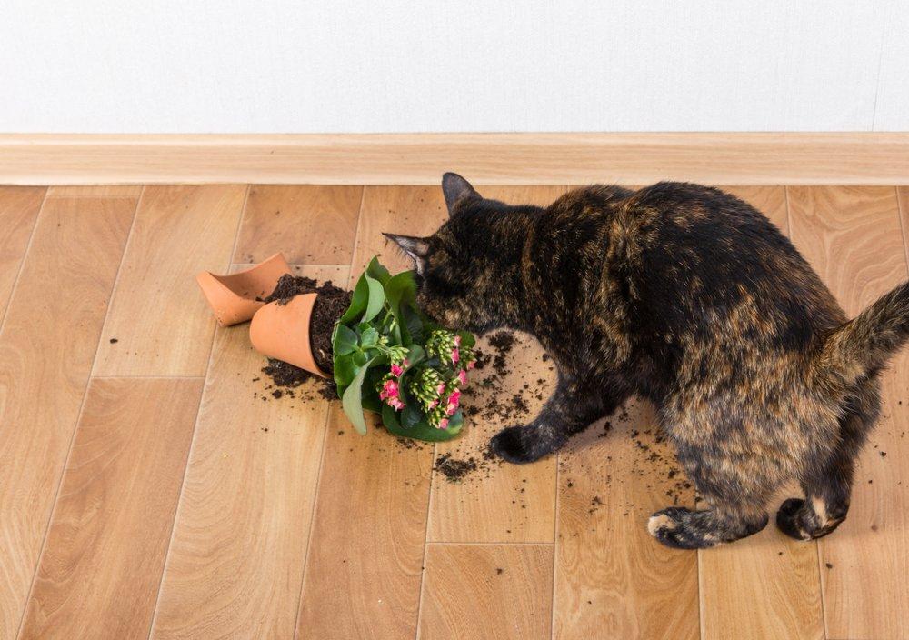Kalanchoe - pozor na domácich miláčikov