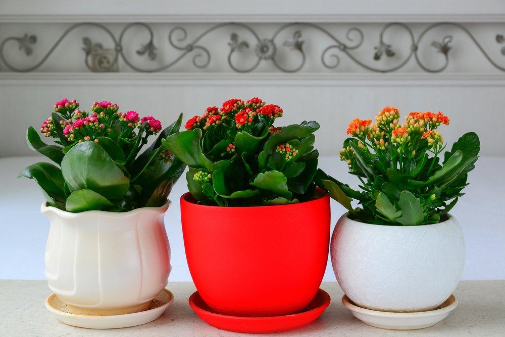 Kalanchoe tri rastliny