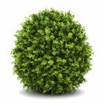 Krušpán - aristokrat formálnych záhrad - jeho pestovanie, starostlivosť a rozmnožovanie