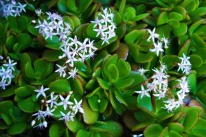 Kvety tučnolistu