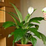 Lopatkovec je výborný čistič vzduchu, ako ho pestovať?