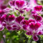 Muškáty - pestovanie, rozmnožovanie, zazimovanie a čo s nimi na jar