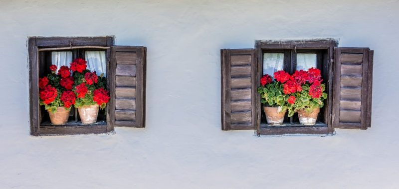 Muškáty vzpriamené v okne