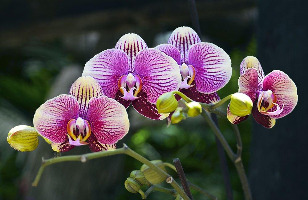 ružovo biela orchidea