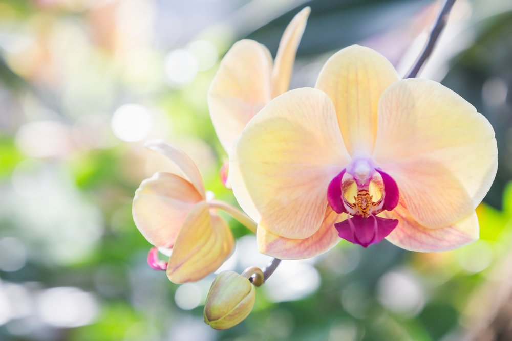 žltá orchidea s ružovým stredom