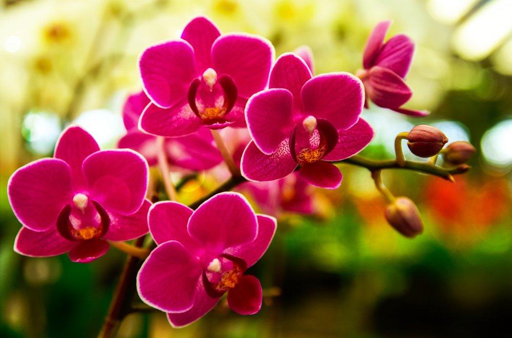 Monopodiálna orchidea phalaenopsis