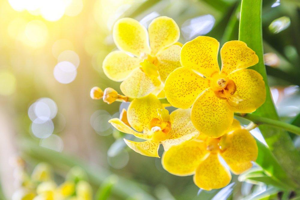 žltá orchidea, slnečné svetlo