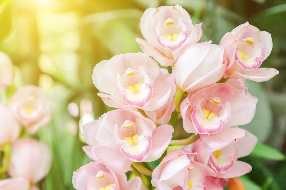 svetloružová orchidea