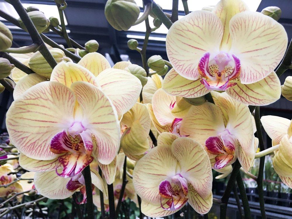 žltá orchidea s ružovým stredom a presádzanie