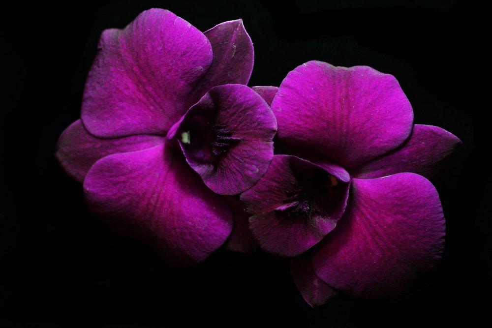 purpurový kvet orchidey