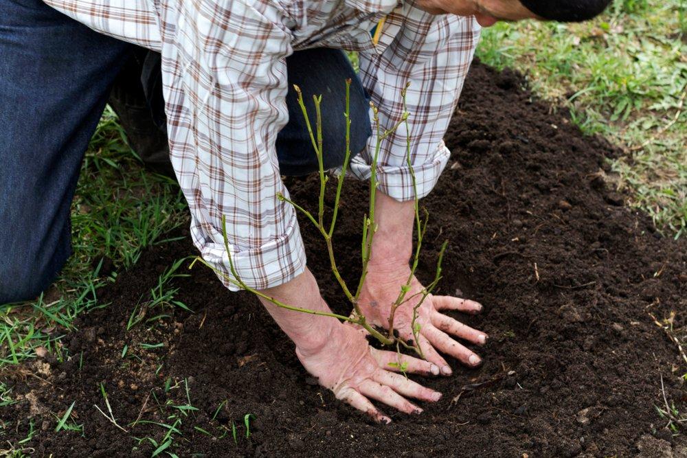 pestovanie čučoriedok