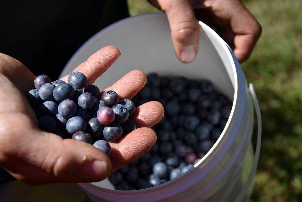 plody čučoriedky