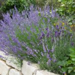 Ako pestovať levanduľu - všetko o sadení, rozmnožovaní a starostlivosti