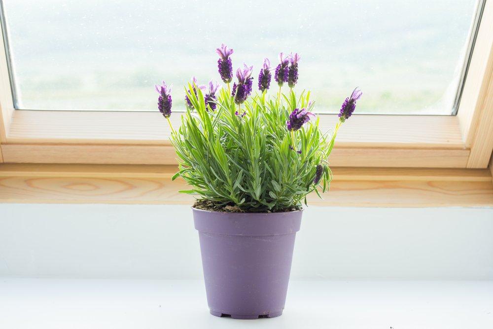 levanduľa v fialovom črepníku pod oknom