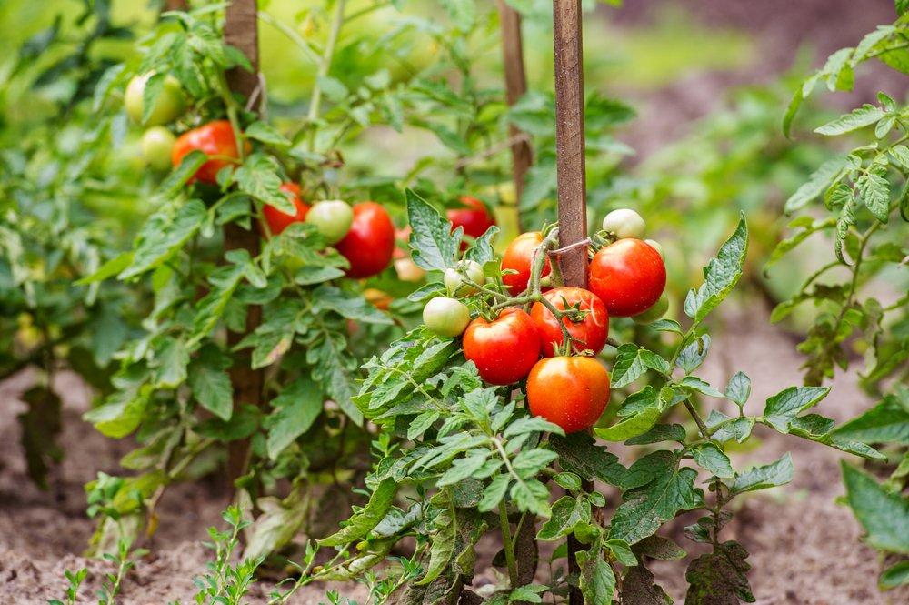 rajčiny na kolíkoch