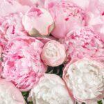 Nadčasovo krásna Pivonka - jej pestovanie, starostlivosť a liečivé účinky