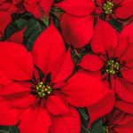 Vianočná ruža - pestovanie, starostlivosť a faktory, ktoré treba zvážiť pri jej kúpe
