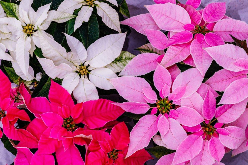 Vianočná ruža rôznych farieb