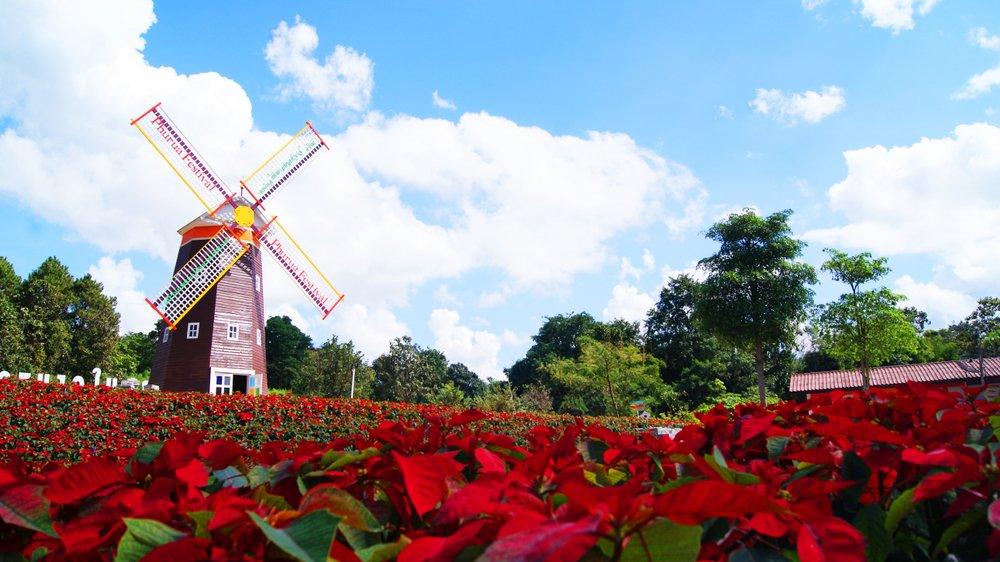 Pole vianočných ruží v Holandsku