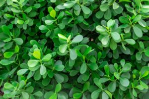 Krušpán drobnolistý (Buxus microphylla) nazývaný aj japonský